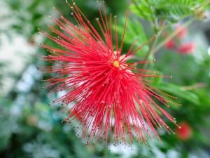 2019.10.24(フワフワの赤い花)