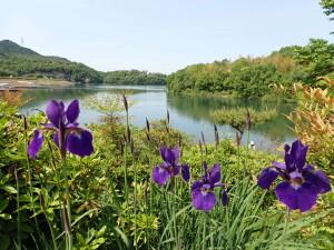 2021.05.04(入鹿池と紫の花)